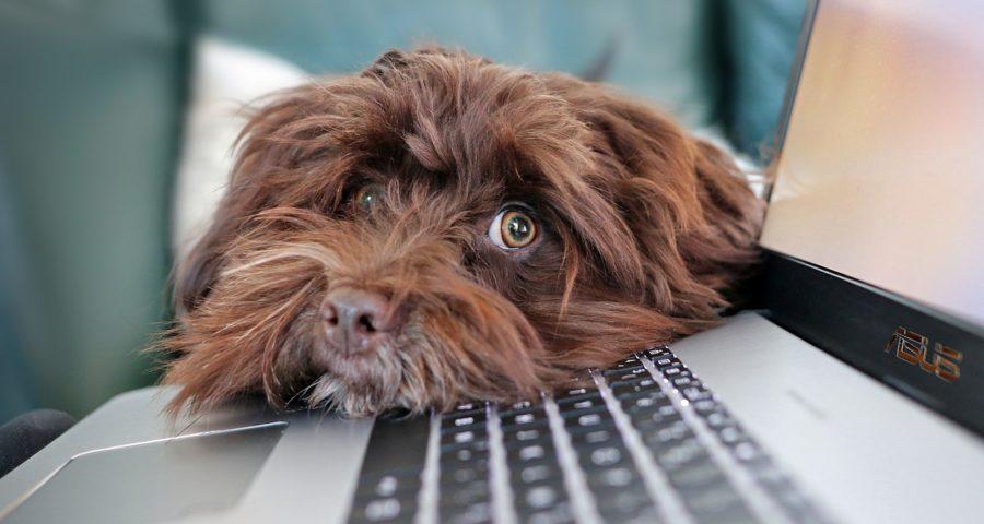 Hund auf Tastatur